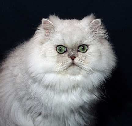 Lafayette the Persian Cat from Stardazl Cattery, Exquisite Silver and Gold Persian Cats and kittens from Stardazl Cattery are purebred pedigree Persian cats which make affectionate, loyal and loving companions from an award winning Texas cat breeder.